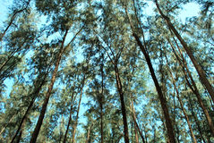 Tall casuarina trees. Low angle. Royalty Free Stock Photos