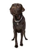 Tall Chocolate Labrador Stock Photography