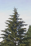 Tall Christmas Pine Tree. Tall Pine Tree against a blue sky royalty free stock images