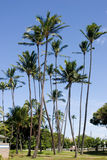 Tall Coconut palm trees Royalty Free Stock Photography