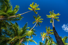 Tall Coconut Palm Trees on Deep Blue Sky. Beautiful Tall Palm Trees with Coconuts High in the Deep Blue Sky, Molokai, Hawaii, Pacific Ocean Islands Royalty Free Stock Photo