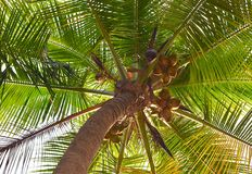 Tall Coconut Tree with Coconuts hanging - From under the tree. This is a photograph of a coconut tree with coconuts hanging over it... The photograph is captured Stock Images