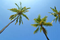 Tall Coconut Trees. Against a bright sunny sky Stock Image