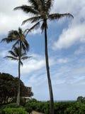Tall Coconut trees along path Stock Photos