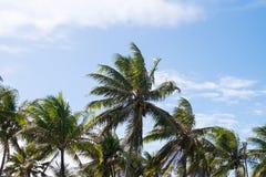 Coconut trees in Praia do Forte, Bahia, Brazil. Tall coconut trees in Praia do Forte, Bahia, Brazil royalty free stock photography