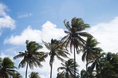 Coconut trees in Praia do Forte, Bahia, Brazil. Tall coconut trees in Praia do Forte, Bahia, Brazil royalty free stock photos