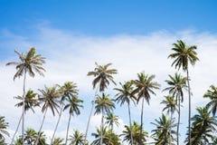 Coconut trees in Praia do Forte, Bahia, Brazil. Tall coconut trees in Praia do Forte, Bahia, Brazil stock images
