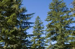 Tall Conifers Stock Photos