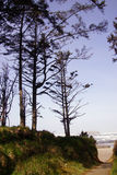 Tall conifers along coastal hills Stock Images