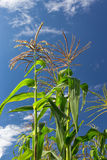 Tall Corn Ready to Harvest Stock Images