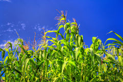 Tall Corn Ready to Harvest Royalty Free Stock Photo