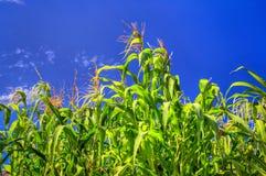 Tall Corn Ready to Harvest Royalty Free Stock Photo