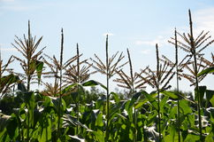 Tall corn in the skies in Vermont Stock Photography