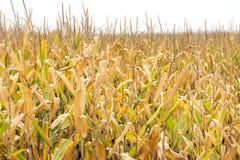Tall corn stalks in golden farm field ready for harvest stock image