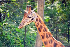 Tall cute giraffe at the zoo royalty free stock images