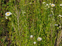 Tall Daisies. Tall daises growing alongside grass stock images