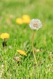 Tall dandilion ready to spred in lawn Royalty Free Stock Photo