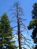 Tall Dead Tree. In Yosemite National Park, CA stock photos