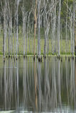 Tall Dead Trees Reflection Royalty Free Stock Images