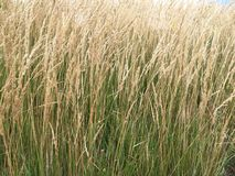 Tall decorative grass. For background Stock Image