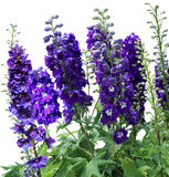 Tall delphiniums flowers Royalty Free Stock Photography