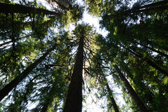 Tall Douglas Fir. Looking up at the Douglas Firs in Olympic National Park Royalty Free Stock Photos