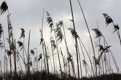 Tall dry grass sways on the background of gray sky.  Stock Photos