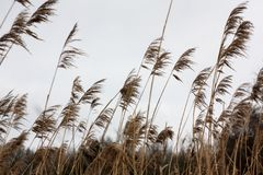 Tall dry grass sways in the wind day. On the background of grey sky Stock Images