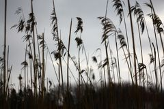 Tall dry grass sways in the wind gray sky in the background.  Royalty Free Stock Photography