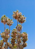 Tall dry palm trees on clear sky. Stock Image