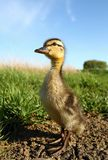 Tall duckling Stock Photo