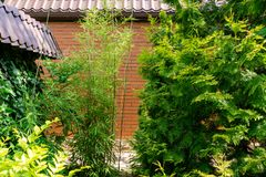 Tall elegant bamboo Phyllostachys aureosulcata bush fits perfectly into design of beautiful ornamental garden. Great combination with yew and thujas. Nature royalty free stock photography