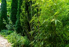Tall elegant bamboo Phyllostachys aureosulcata bush fits perfectly into design of beautiful ornamental garden. Great combination with yew and thujas. Nature stock photos
