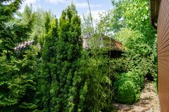 Tall elegant bamboo Phyllostachys aureosulcata bush fits perfectly into design of beautiful ornamental garden. Great combination with yew and thujas. Nature stock photography
