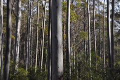 A tall eucalypt forest with understory. This shows primarilly the trunks of a tall eucalypt forest with understory in a low mountain area. The afternoon light Stock Photo