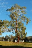 Tall Eucalyptus gum tree Canberra Royalty Free Stock Photography