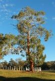 Tall Eucalyptus gum tree Canberra Royalty Free Stock Photography
