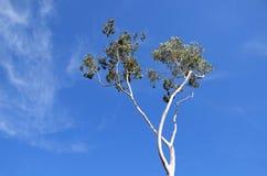 Tall eucalyptus tree Stock Photo