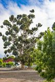 Eucalyptus tree, South Africa stock photography