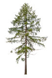 Tall European larch tree isolated on white Royalty Free Stock Photos