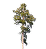 Tall European pine tree isolated on white Stock Photos