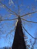 Tall Fall Tree Royalty Free Stock Image
