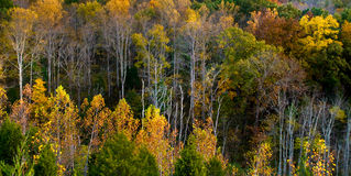 Tall Fall Trees Stock Photo