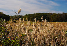 Tall Feathery Grasses. Along the ocean Stock Photography