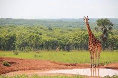 The Staring Giraffe Royalty Free Stock Photography