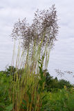 Tall fescue (Festuca pratensis) Stock Photography