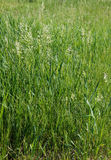 The tall fescue Royalty Free Stock Image