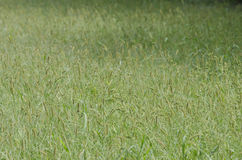 Tall field grass Stock Images