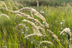 Tall field grass sweeps. Natural background Royalty Free Stock Images