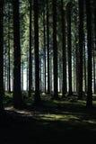 Tall fir forest. Light passing through high fir forest Stock Image
